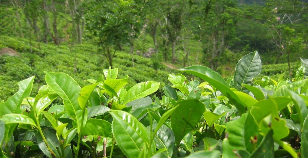 Дерево зеленого чая