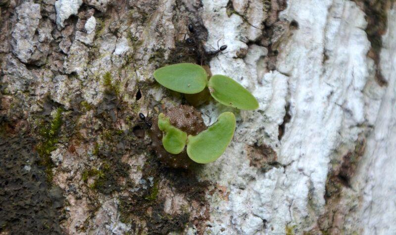las-hormigas-ya-cultivaban-plantas-mucho-antes-que-los-humanos